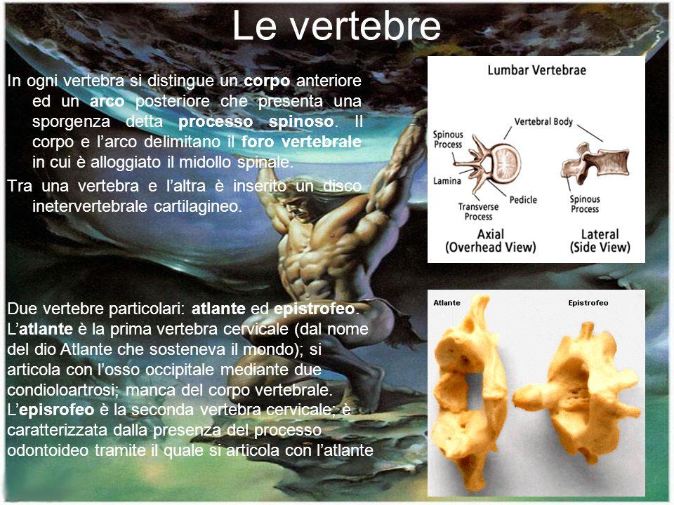 15 Le vertebre In ogni vertebra si distingue un corpo anteriore ed un arco posteriore che presenta una sporgenza detta processo spinoso. Il corpo e la