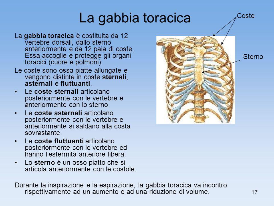 17 La gabbia toracica La gabbia toracica è costituita da 12 vertebre dorsali, dallo sterno anteriormente e da 12 paia di coste. Essa accoglie e proteg