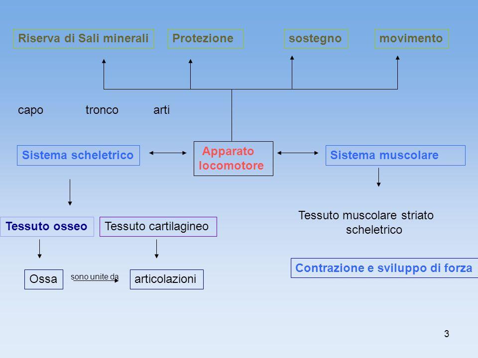 3 Sistema scheletrico Contrazione e sviluppo di forza Tessuto osseo sostegnoProtezione Sistema muscolare Riserva di Sali minerali Tessuto cartilagineo
