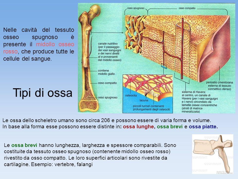 8 Nelle cavità del tessuto osseo spugnoso è presente il midollo osseo rosso, che produce tutte le cellule del sangue. Tipi di ossa Le ossa dello schel