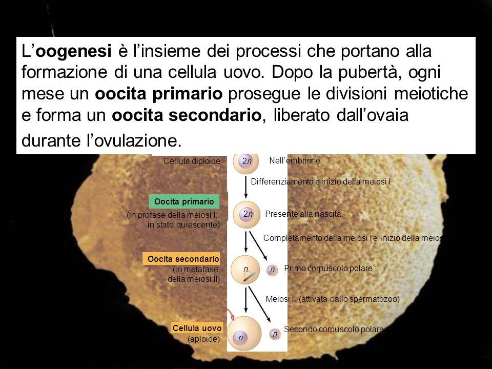 Cellula diploide Nellembrione 2n2n Differenziamento e inizio della meiosi I Oocita primario (in profase della meiosi I; in stato quiescente) 2n2nPrese