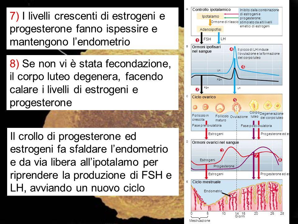 A B Controllo ipotalamico Ipotalamo Ormone di rilascio Adenoipofisi Inibito dalla combinazione di estrogeni e progesterone; stimolato da alti livelli