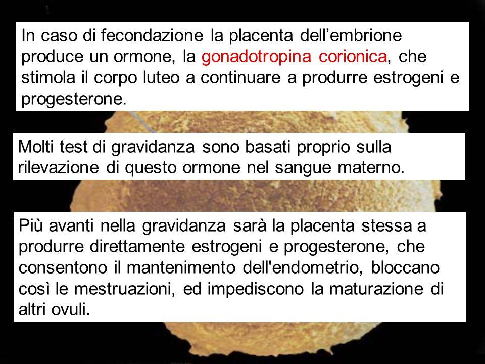 In caso di fecondazione la placenta dellembrione produce un ormone, la gonadotropina corionica, che stimola il corpo luteo a continuare a produrre est