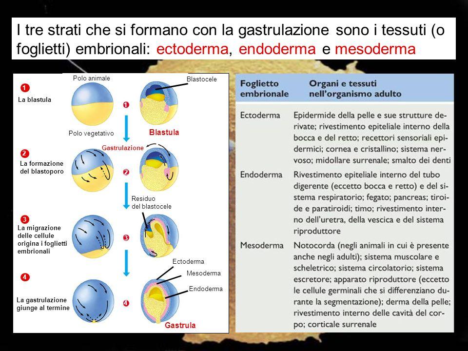 I tre strati che si formano con la gastrulazione sono i tessuti (o foglietti) embrionali: ectoderma, endoderma e mesoderma Polo animale Blastocele Pol