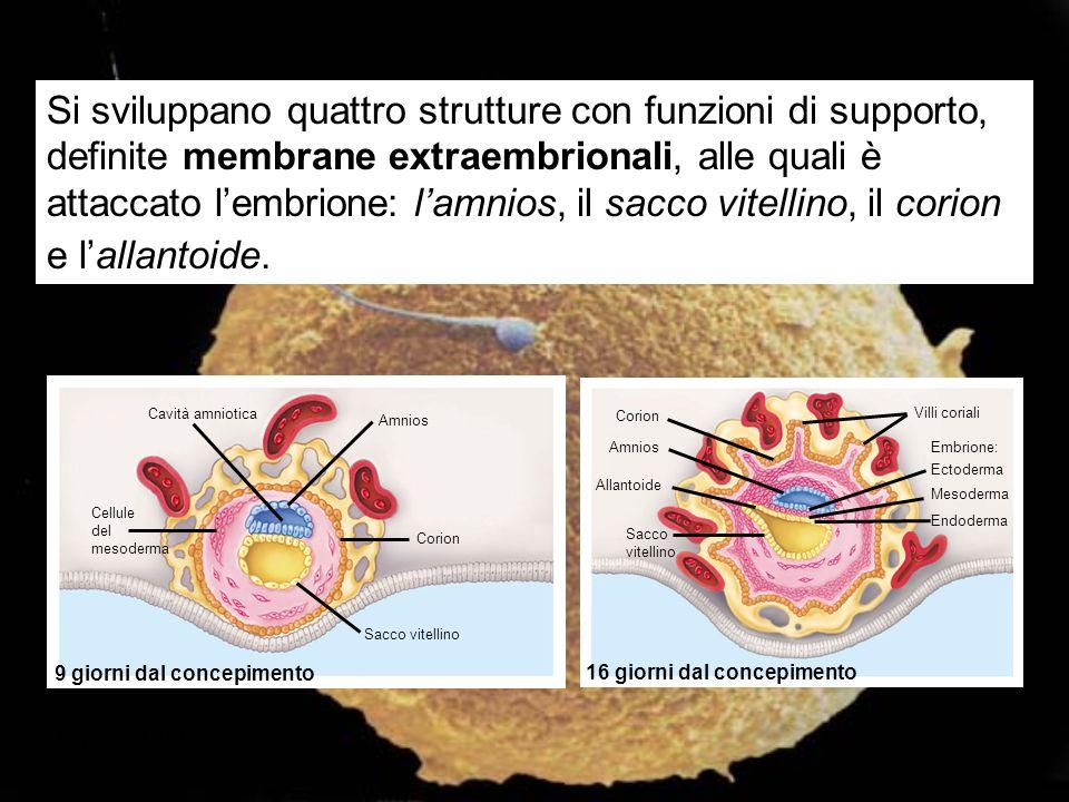 Cavità amniotica Amnios Cellule del mesoderma Corion Sacco vitellino Corion Amnios Allantoide Sacco vitellino Villi coriali Embrione: Ectoderma Mesode