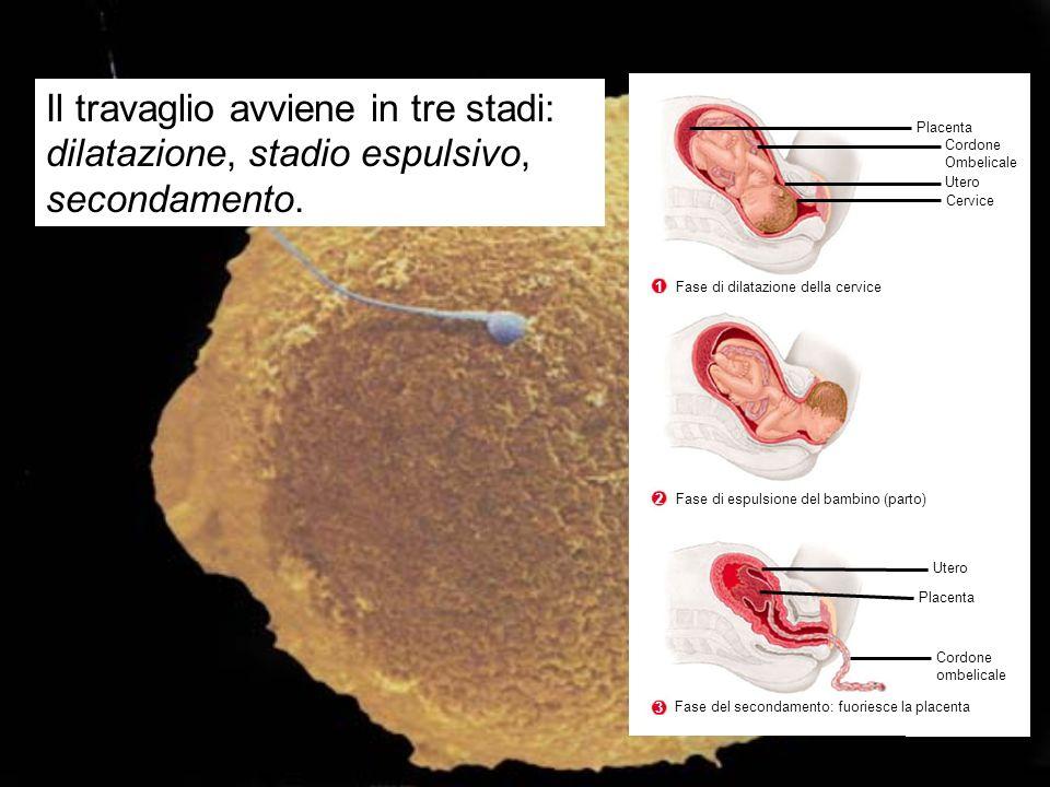 Placenta Cordone Ombelicale Utero Cervice Utero Placenta Cordone ombelicale Fase di dilatazione della cervice 1 Fase di espulsione del bambino (parto)