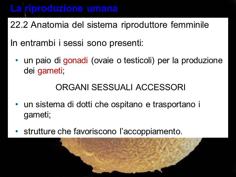 La riproduzione umana 22.2 Anatomia del sistema riproduttore femminile In entrambi i sessi sono presenti: un paio di gonadi (ovaie o testicoli) per la