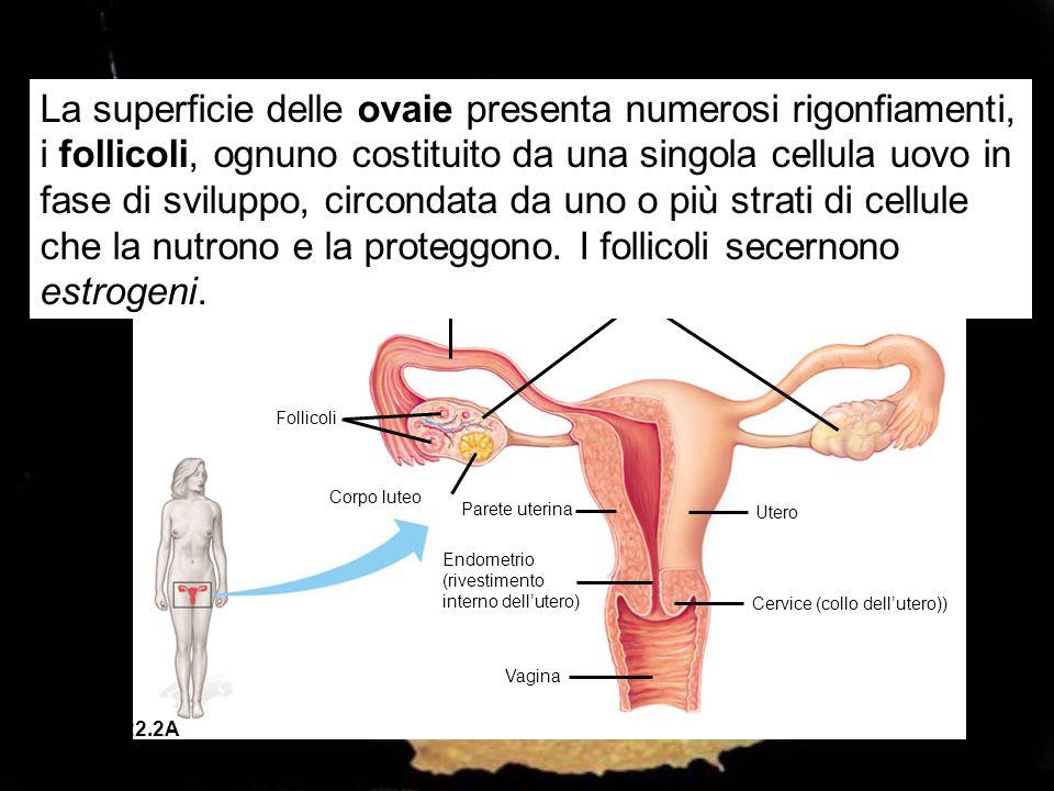 Ovidotto Ovaie Follicoli Corpo luteo Parete uterina Utero Endometrio (rivestimento interno dellutero) Cervice (collo dellutero)) Vagina Figura 22.2A L