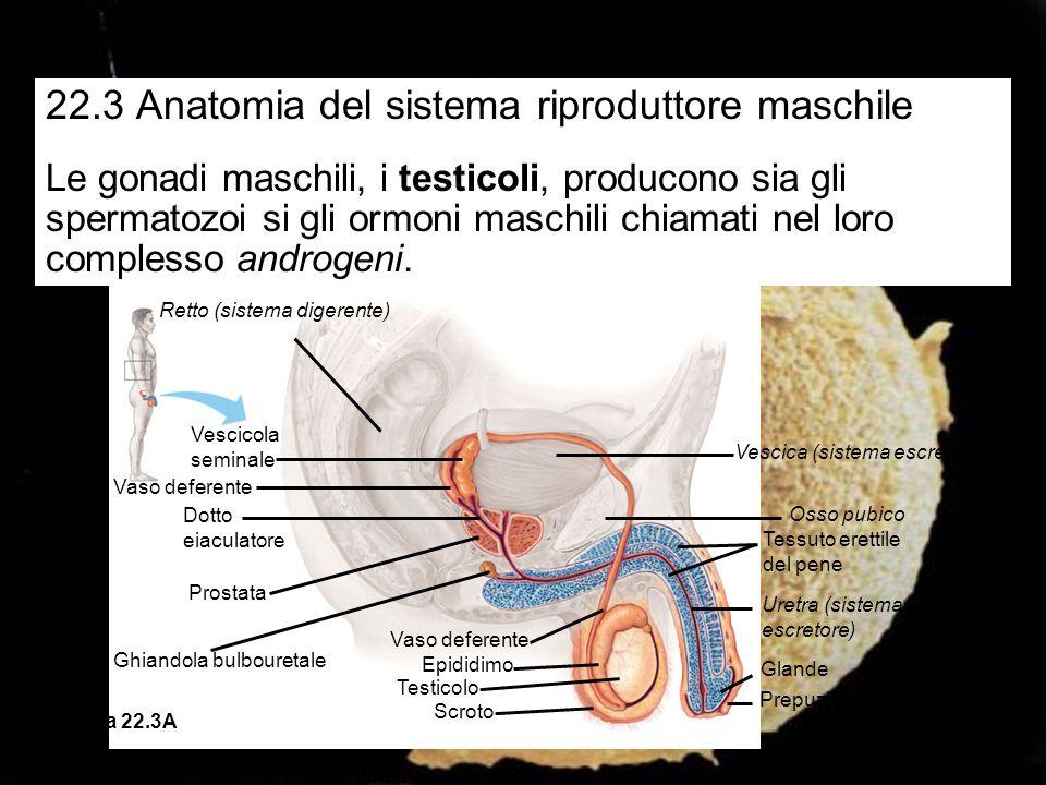 Vescica (sistema escretore) Prostata Ghiandola bulbouretrale Tessuto erettile del pene Vaso deferente Epididimo Testicolo Vescicola seminale (dietro alla vescica) Uretra Scroto Glande Figura 22.3B Tre tipi di ghiandole (le vescicole seminali, la prostata e le ghiandole bulbouretrali) producono un fluido acquoso che nutre e protegge gli spermatozoi.