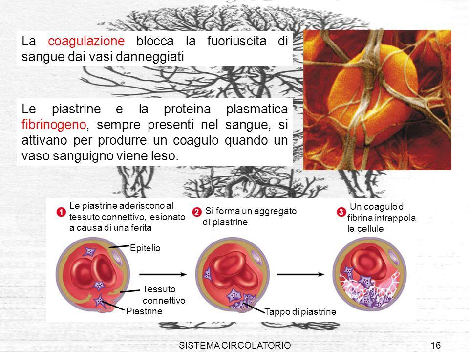SISTEMA CIRCOLATORIO16 La coagulazione blocca la fuoriuscita di sangue dai vasi danneggiati Le piastrine e la proteina plasmatica fibrinogeno, sempre