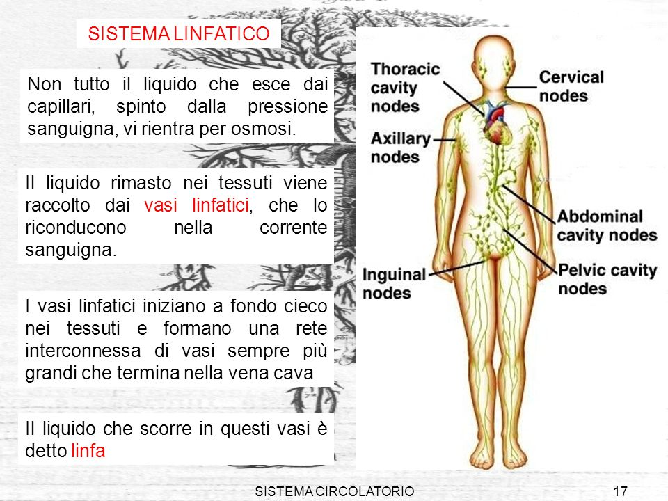 SISTEMA CIRCOLATORIO17 SISTEMA LINFATICO Non tutto il liquido che esce dai capillari, spinto dalla pressione sanguigna, vi rientra per osmosi. Il liqu