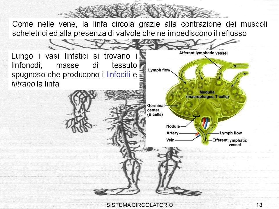 SISTEMA CIRCOLATORIO18 Come nelle vene, la linfa circola grazie alla contrazione dei muscoli scheletrici ed alla presenza di valvole che ne impediscon