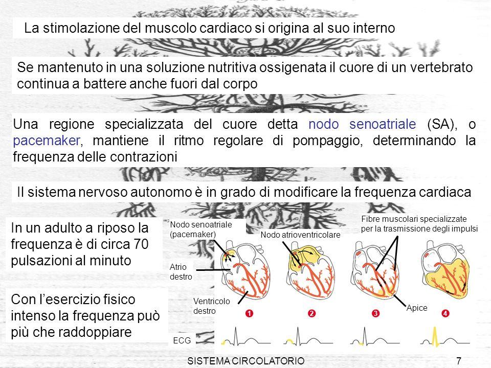 SISTEMA CIRCOLATORIO18 Come nelle vene, la linfa circola grazie alla contrazione dei muscoli scheletrici ed alla presenza di valvole che ne impediscono il reflusso Lungo i vasi linfatici si trovano i linfonodi, masse di tessuto spugnoso che producono i linfociti e filtrano la linfa