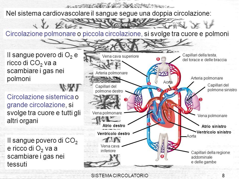 SISTEMA CIRCOLATORIO9 VASI SANGUIGNI I vasi sanguigni che escono dal cuore (flusso in direzione centrifuga) si chiamano arterie I vasi sanguigni che entrano nel cuore (flusso in direzione centripeta) si chiamano vene Piccolissimi vasi (visibili solo al microscopio), i capillari, collegano nei tessuti la circolazione arteriosa e quella venosa Allinterno dei vasi sanguigni esiste una gerarchia ed il flusso è unidirezionale cuore arteriearteriole capillari venevenule
