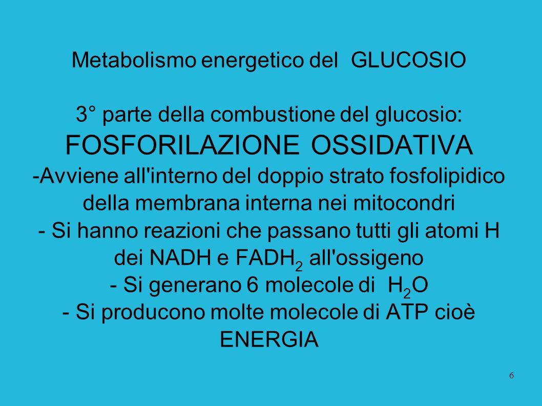 6 Metabolismo energetico del GLUCOSIO 3° parte della combustione del glucosio: FOSFORILAZIONE OSSIDATIVA -Avviene all'interno del doppio strato fosfol