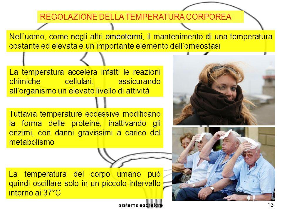 sistema escretore13 REGOLAZIONE DELLA TEMPERATURA CORPOREA Nelluomo, come negli altri omeotermi, il mantenimento di una temperatura costante ed elevat