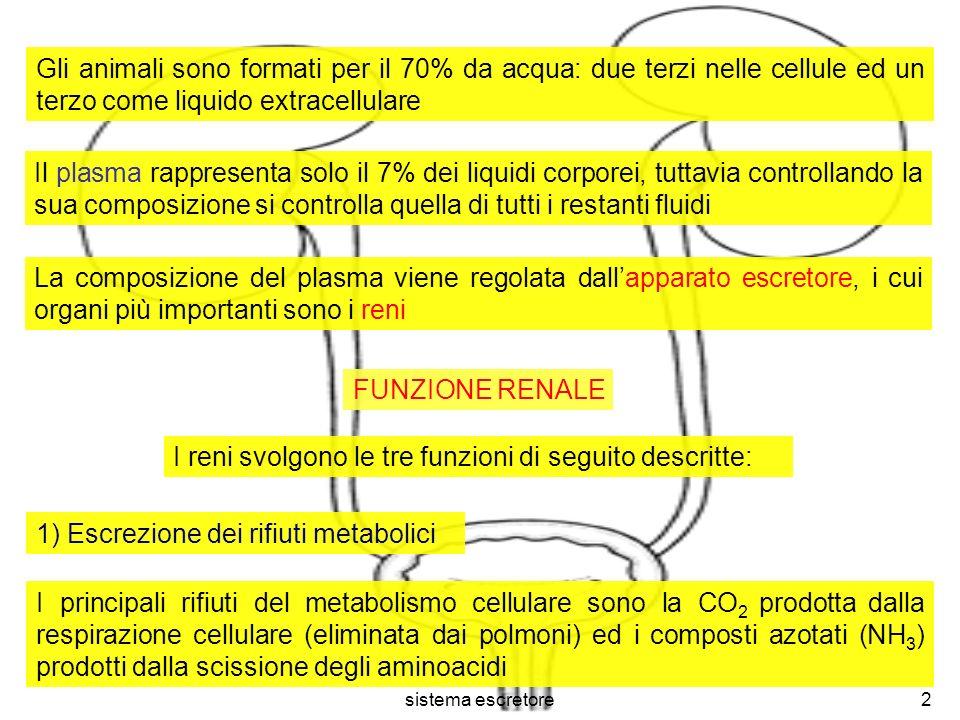 sistema escretore3 Poiché lammoniaca è molto tossica, il fegato la trasforma in urea, riversandola poi nel sangue.