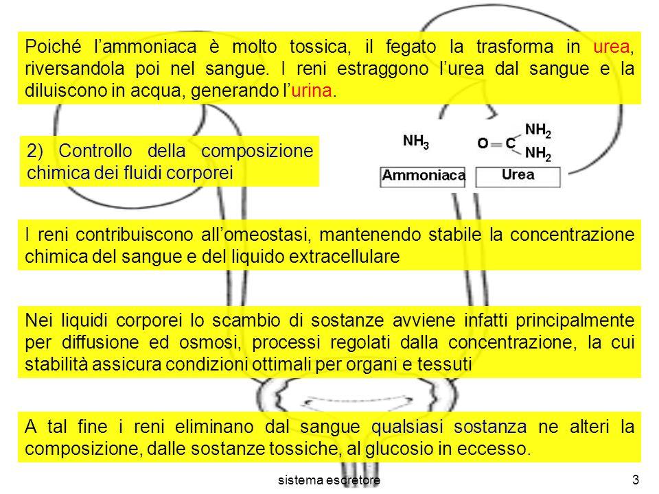 sistema escretore3 Poiché lammoniaca è molto tossica, il fegato la trasforma in urea, riversandola poi nel sangue. I reni estraggono lurea dal sangue