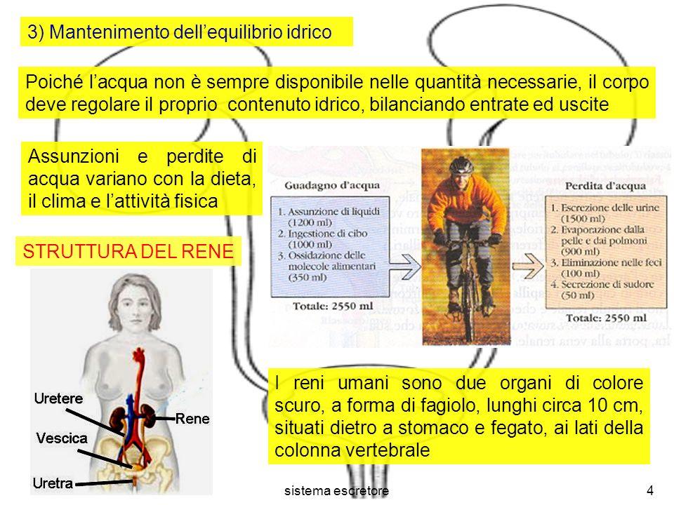 sistema escretore5 Ciascun rene contiene circa un milione di nefroni, la cui lunghezza totale, in un adulto, raggiunge gli 80 km Il rene è dotato di una regione più esterna, detta corticale e di una più interna, detta midollare A cavallo delle due regioni si trovano i nefroni, le unità funzionali dei reni