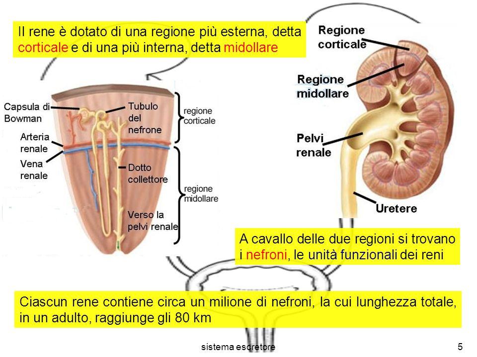 sistema escretore5 Ciascun rene contiene circa un milione di nefroni, la cui lunghezza totale, in un adulto, raggiunge gli 80 km Il rene è dotato di u