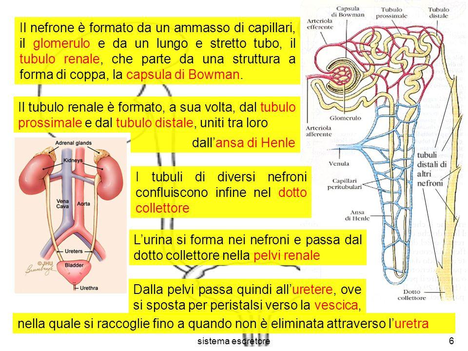 sistema escretore7 Larteria renale si suddivide in tante arteriole, ognuna della quali conduce ad un glomerulo Nel glomerulo il sangue ha una pressione doppia rispetto a quella degli altri capillari A causa di ciò un quinto del plasma esce dai capillari, attraversa la capsula di Bowman, ed entra nel tubulo renale Tale fenomeno si dice filtrazione ed il liquido entrato nel tubulo prende il nome di filtrato Quella in entrata si dice arteriola afferente, quella in uscita si dice arteriola efferente Questultima si suddivide poi nei capillari peritubulari, che circondano il tubulo renale, riunendosi infine in una venula
