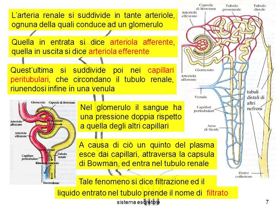 sistema escretore7 Larteria renale si suddivide in tante arteriole, ognuna della quali conduce ad un glomerulo Nel glomerulo il sangue ha una pression