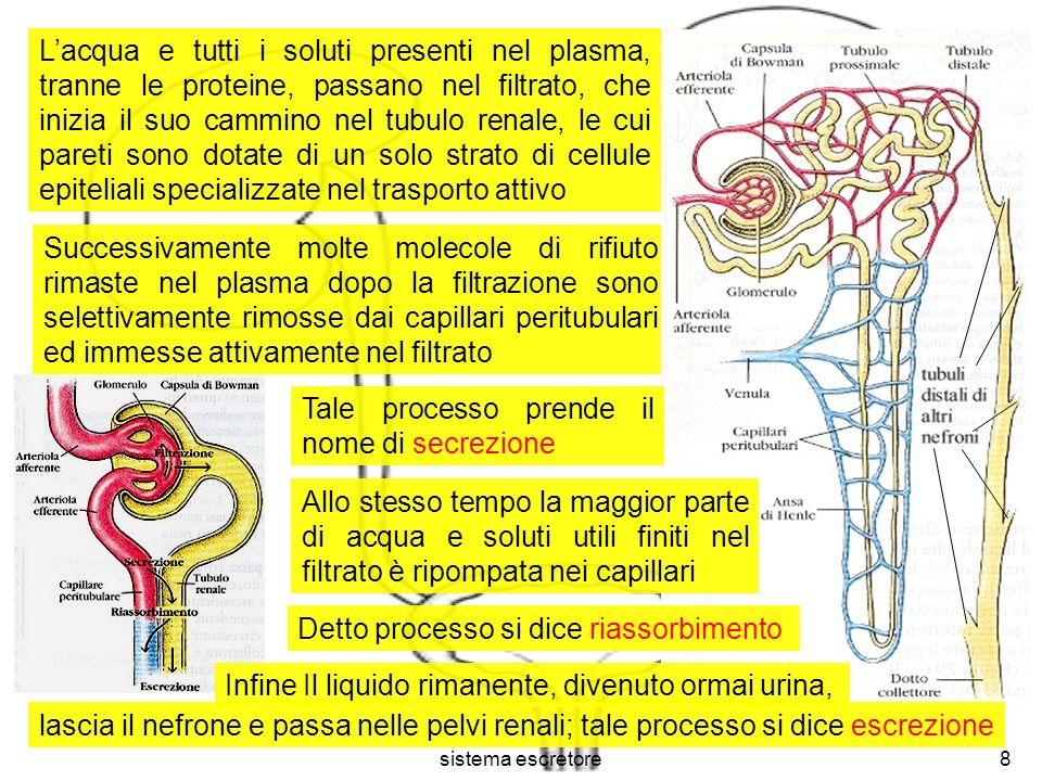 sistema escretore8 Lacqua e tutti i soluti presenti nel plasma, tranne le proteine, passano nel filtrato, che inizia il suo cammino nel tubulo renale,