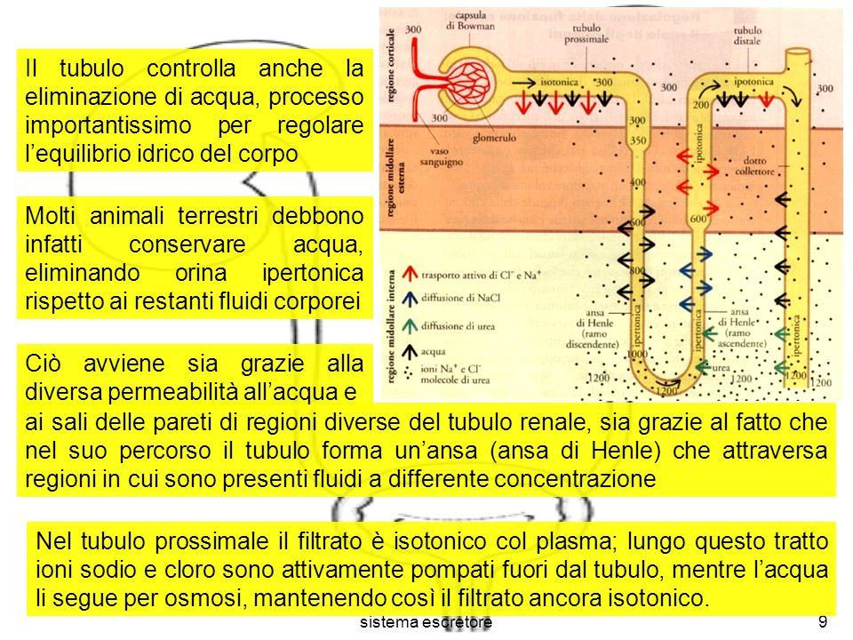 sistema escretore10 Lungo il ramo discendente dellansa lacqua esce dal tubulo per osmosi, poiché incontra un ambiente molto salino, ricco di ioni Na + e Cl - provenienti dal ramo ascendente.