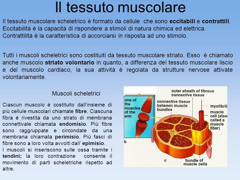 Il tessuto muscolare Il tessuto muscolare scheletrico è formato da cellule che sono eccitabili e contrattili. Eccitabilità è la capacità di rispondere