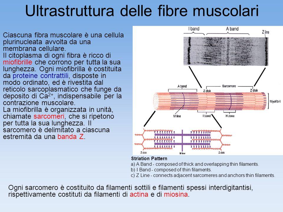 Ultrastruttura delle fibre muscolari Ciascuna fibra muscolare è una cellula plurinucleata avvolta da una membrana cellulare. Il citoplasma di ogni fib