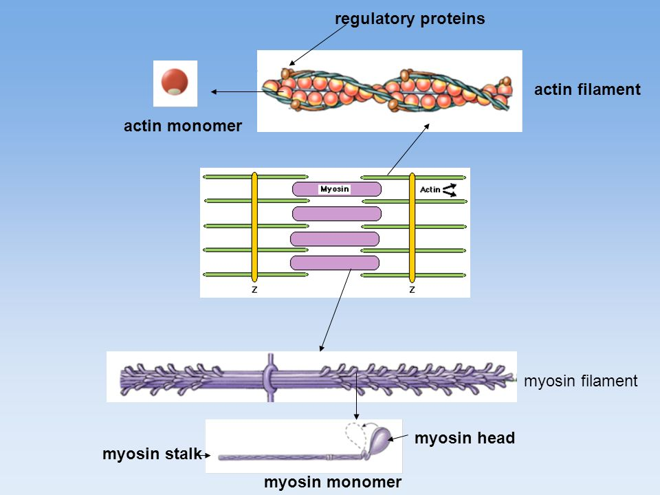 actin filament myosin filament actin monomer myosin monomer myosin head myosin stalk regulatory proteins
