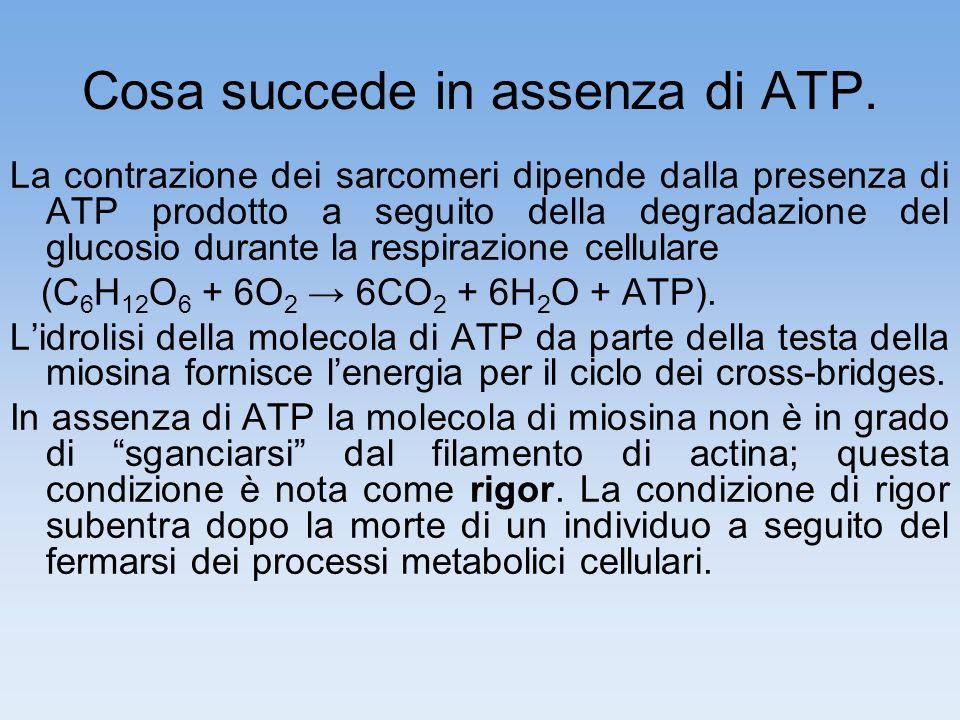 Cosa succede in assenza di ATP. La contrazione dei sarcomeri dipende dalla presenza di ATP prodotto a seguito della degradazione del glucosio durante