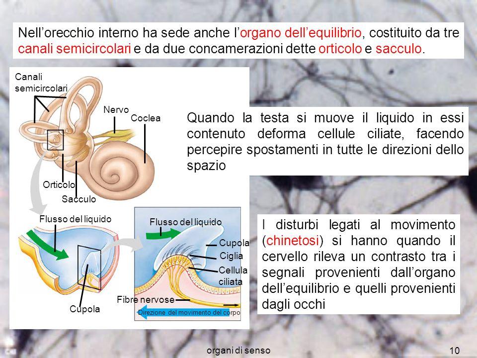 organi di senso 10 Canali semicircolari Nervo Coclea Orticolo Sacculo Flusso del liquido Cupola Flusso del liquido Cupola Ciglia Cellula ciliata Fibre
