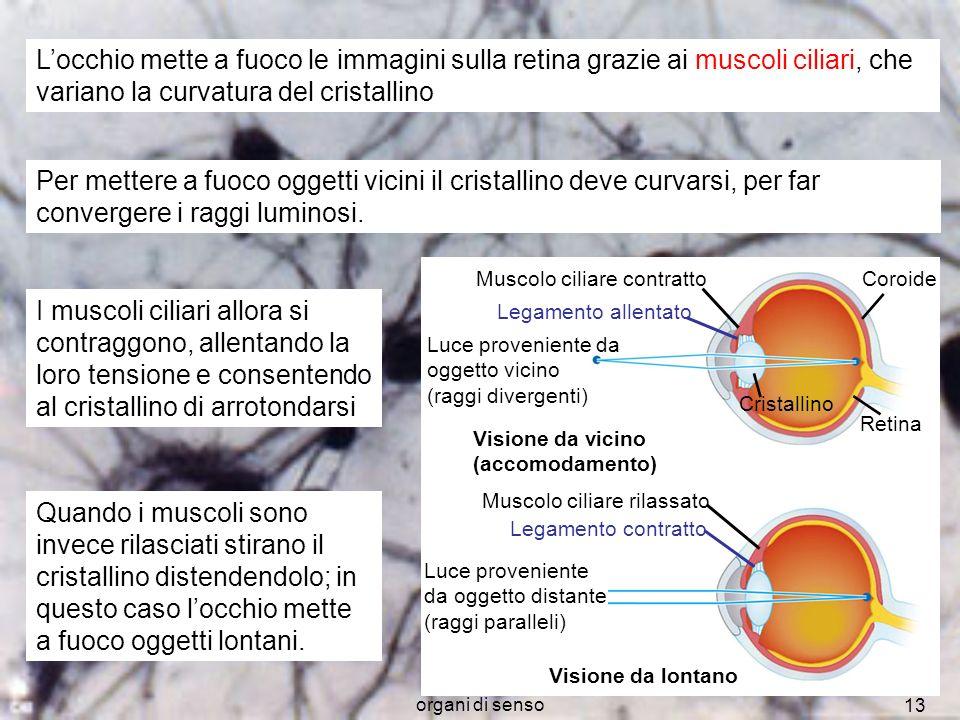 organi di senso 13 Muscolo ciliare contratto Legamento allentato Coroide Retina Cristallino Luce proveniente da oggetto vicino (raggi divergenti) Visi