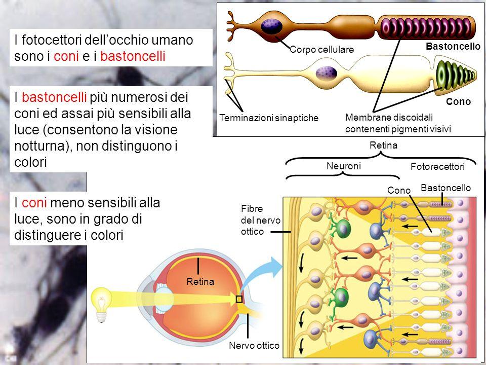 organi di senso 15 I fotocettori dellocchio umano sono i coni e i bastoncelli Cono Bastoncello Fotorecettori Neuroni Retina Fibre del nervo ottico Ner