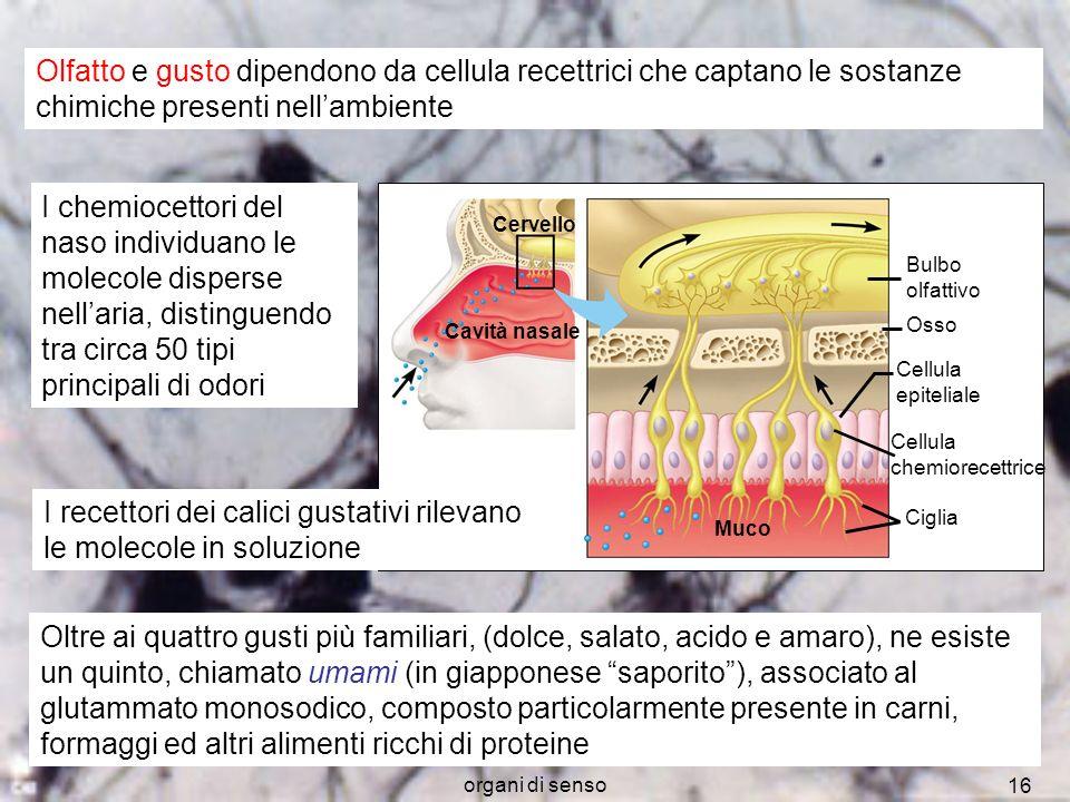 organi di senso 16 Potenziali dazione Olfatto e gusto dipendono da cellula recettrici che captano le sostanze chimiche presenti nellambiente I chemioc