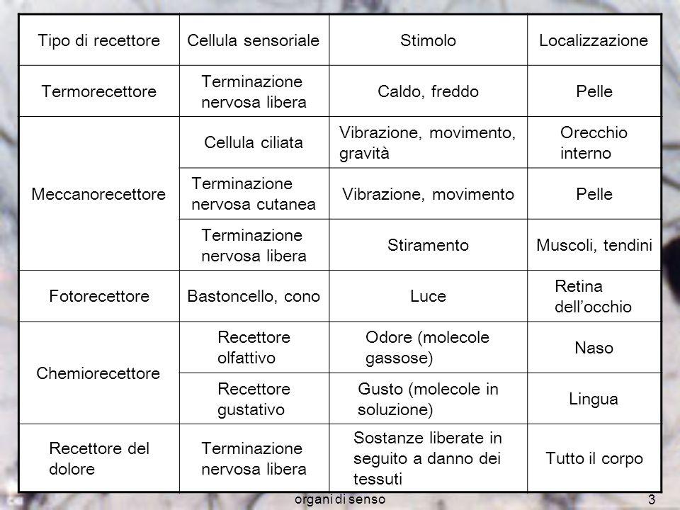 organi di senso 3 Tipo di recettoreCellula sensorialeStimoloLocalizzazione Termorecettore Terminazione nervosa libera Caldo, freddoPelle Meccanorecett
