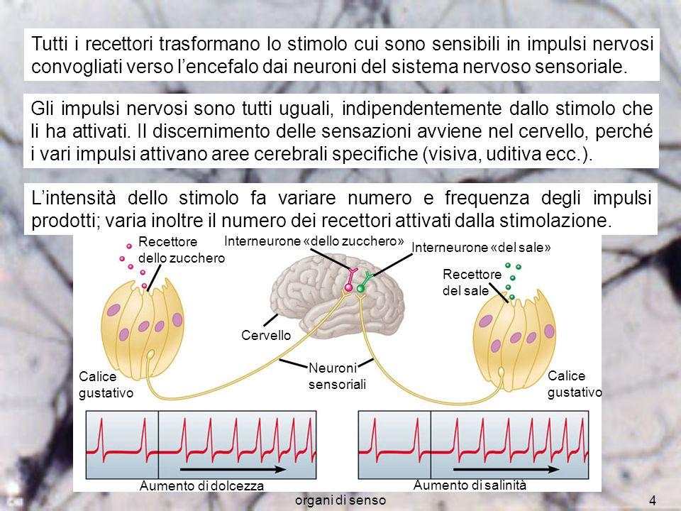 organi di senso 15 I fotocettori dellocchio umano sono i coni e i bastoncelli Cono Bastoncello Fotorecettori Neuroni Retina Fibre del nervo ottico Nervo ottico Retina Corpo cellulare Bastoncello Cono Membrane discoidali contenenti pigmenti visivi Terminazioni sinaptiche I coni meno sensibili alla luce, sono in grado di distinguere i colori I bastoncelli più numerosi dei coni ed assai più sensibili alla luce (consentono la visione notturna), non distinguono i colori