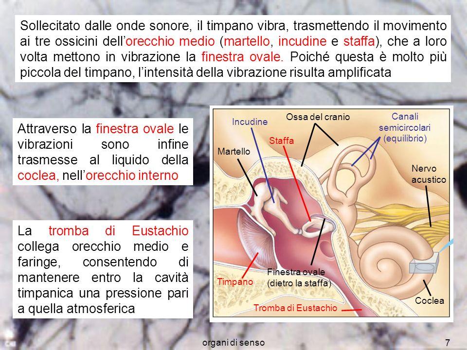 organi di senso 8 Canale mediano Osso Nervo acustico Organo del Corti Cellule ciliate Membrana tettoria Neuroni sensoriali Al nervo acustico Membrana basilare Sezione trasversale della coclea Canale superiore Canale inferiore La coclea è divisa per tutta la sua lunghezza in tre cavità, riempite di liquido.