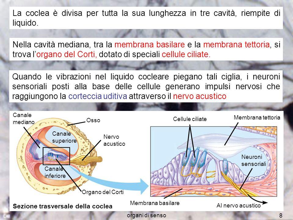 organi di senso 8 Canale mediano Osso Nervo acustico Organo del Corti Cellule ciliate Membrana tettoria Neuroni sensoriali Al nervo acustico Membrana