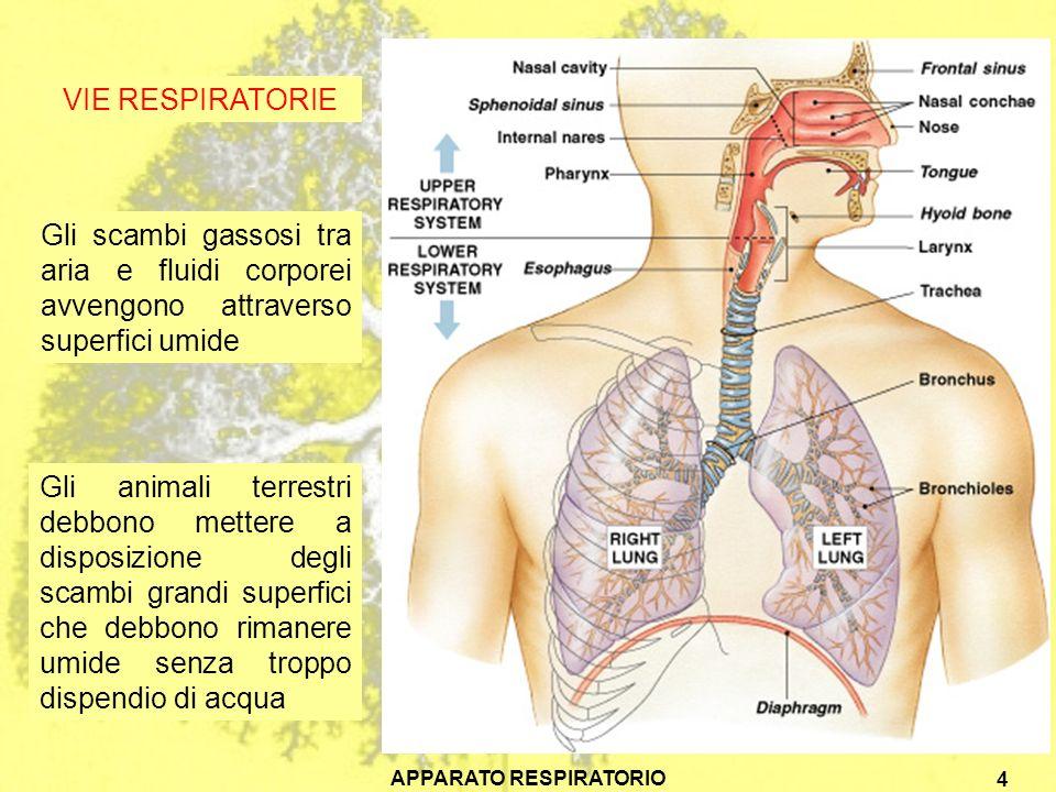 APPARATO RESPIRATORIO 5 Nelle cavità nasali laria viene filtrata, umidificata e riscaldata Lolfatto controlla la composizione chimica dei gas e dei vapori inalati Nella faringe le corde vocali sono gli organi della fonazione