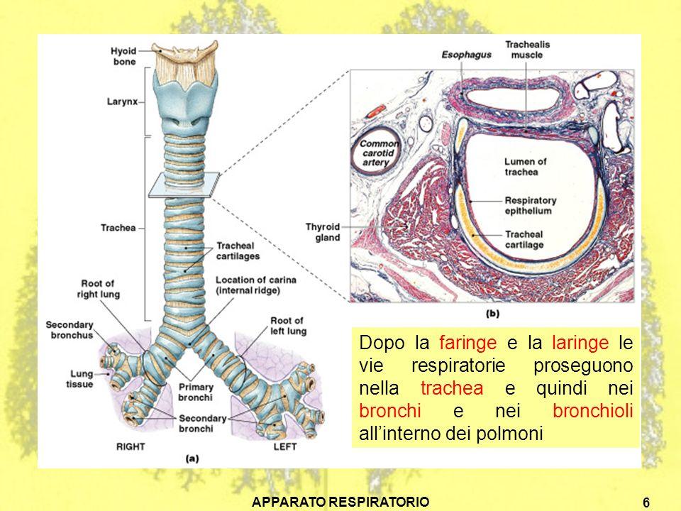 APPARATO RESPIRATORIO 6 Dopo la faringe e la laringe le vie respiratorie proseguono nella trachea e quindi nei bronchi e nei bronchioli allinterno dei polmoni