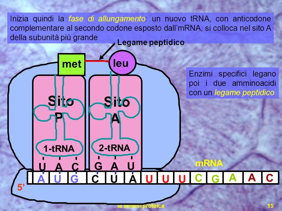la sintesi proteica15 Sito P Sito A Inizia quindi la fase di allungamento: un nuovo tRNA, con anticodone complementare al secondo codone esposto dallm