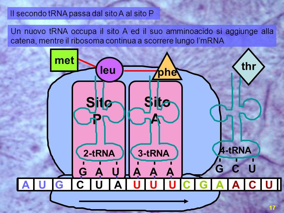 la sintesi proteica17 AUGCUAUUUCG 2-tRNA GAU A 3-tRNA AAA 4-tRNA GCU thr ACU met Sito P Sito A Il secondo tRNA passa dal sito A al sito P Un nuovo tRN