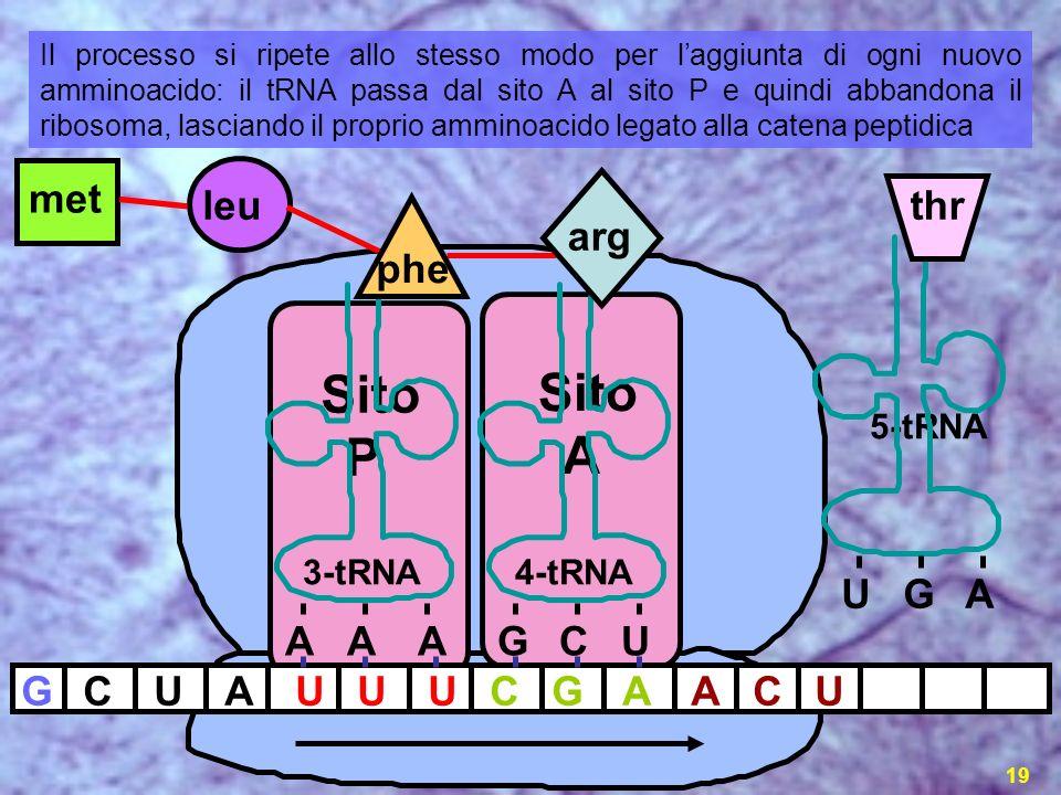 la sintesi proteica19 GCUAUUUCG met leu A 3-tRNA AAA 4-tRNA GCU ACU 5-tRNA UGA thr Sito P Sito A arg phe Il processo si ripete allo stesso modo per la