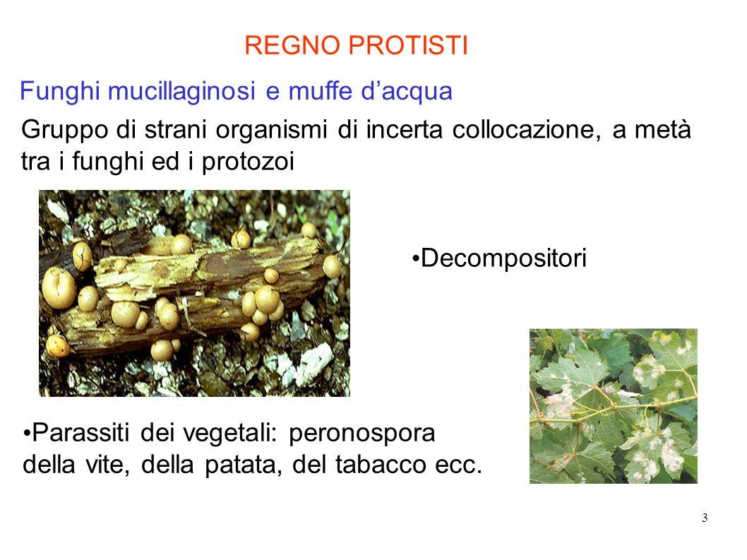 3 Funghi mucillaginosi e muffe dacqua Gruppo di strani organismi di incerta collocazione, a metà tra i funghi ed i protozoi REGNO PROTISTI Decomposito
