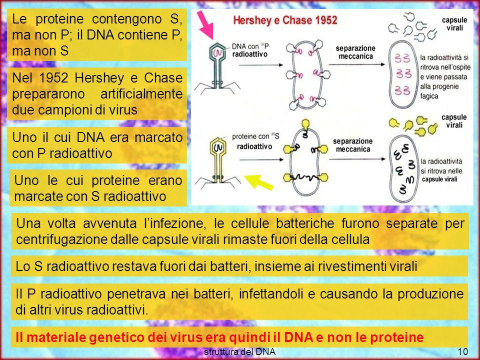 struttura del DNA10 Le proteine contengono S, ma non P; il DNA contiene P, ma non S Nel 1952 Hershey e Chase prepararono artificialmente due campioni