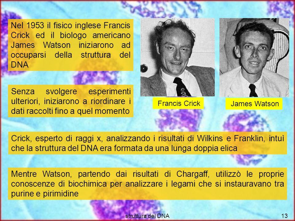 struttura del DNA13 Nel 1953 il fisico inglese Francis Crick ed il biologo americano James Watson iniziarono ad occuparsi della struttura del DNA Senz