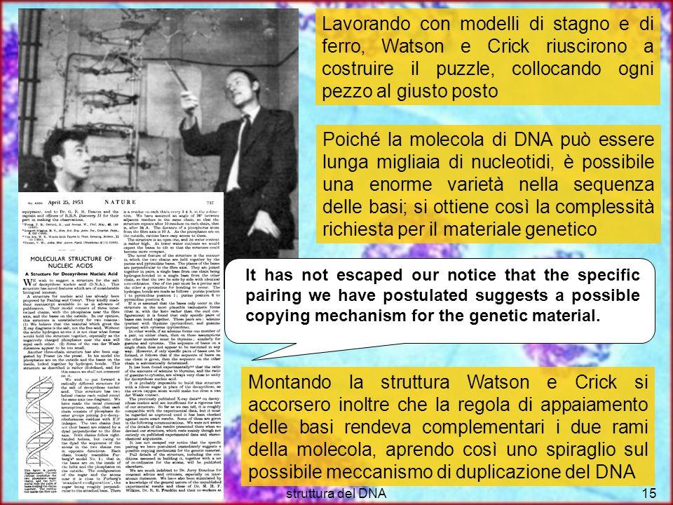 struttura del DNA15 Lavorando con modelli di stagno e di ferro, Watson e Crick riuscirono a costruire il puzzle, collocando ogni pezzo al giusto posto