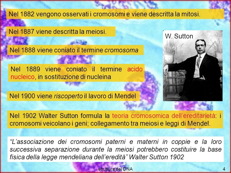 struttura del DNA4 Nel 1902 Walter Sutton formula la teoria cromosomica dellereditarietà: i cromosomi veicolano i geni; collegamento tra meiosi e legg
